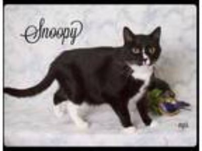 Adopt Snoopy a All Black Domestic Shorthair / Domestic Shorthair / Mixed (short