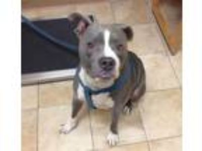 Adopt Prince Charming (mcas) a Pit Bull Terrier