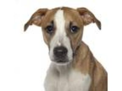 Adopt Buddy a White - with Tan, Yellow or Fawn Hound (Unknown Type) / Beagle /