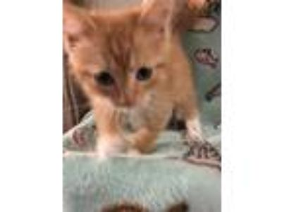 Adopt Mufasa a Domestic Shorthair / Mixed cat in Union Grove, WI (25814665)