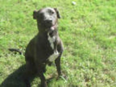 Adopt GATES a Black - with White Labrador Retriever / American Pit Bull Terrier