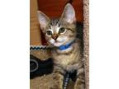 Adopt CHEETOS a Domestic Short Hair