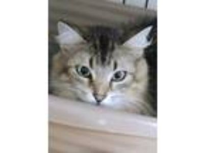 Adopt Rosie a Brown or Chocolate Domestic Longhair / Domestic Shorthair / Mixed