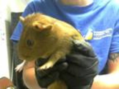 Adopt ANDY a Brown or Chocolate Guinea Pig / Mixed small animal in Fayetteville