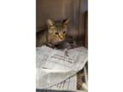 Adopt Sanar a Domestic Short Hair