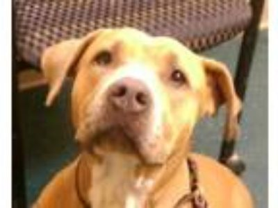 Adopt Roxy a American Staffordshire Terrier