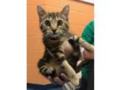 Adopt Honeydew a Domestic Short Hair