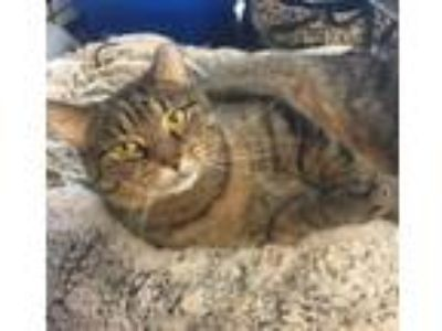 Adopt Lovie a Domestic Short Hair