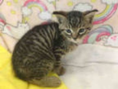 Adopt MILTON a Brown Tabby Domestic Shorthair / Mixed (short coat) cat in