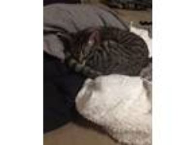 Adopt Baby boy a Tiger Striped Domestic Shorthair / Mixed cat in Springfield