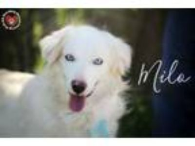 Adopt Milo a Australian Shepherd, Golden Retriever
