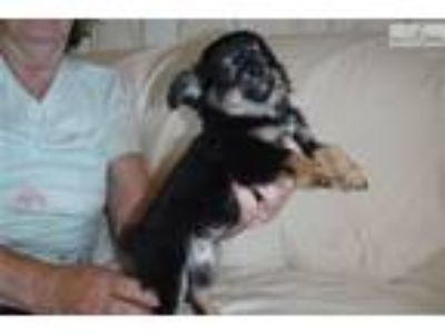 Patsy Full Blooded Chihuahua Female Pup