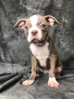 Crystal Female Boston Terrier AKC
