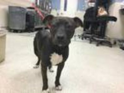 Adopt Dog a Brown/Chocolate - with White American Pit Bull Terrier / Mixed dog