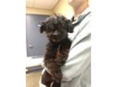 Adopt Minnie a Black Poodle (Miniature) / Mixed dog in Quincy, IL (25600595)
