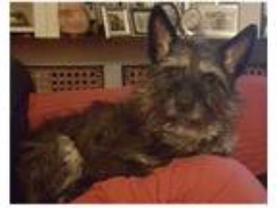 Adopt MORIARTY in PA a Black - with Gray or Silver Cairn Terrier / Mixed dog in