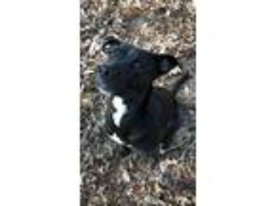Adopt Poppy a Black - with White Labrador Retriever / Retriever (Unknown Type) /