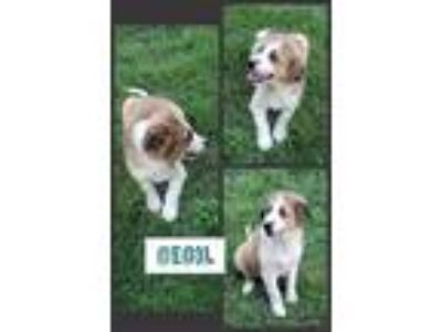 Adopt Cecil a Tan/Yellow/Fawn - with Black Australian Shepherd / Great Pyrenees