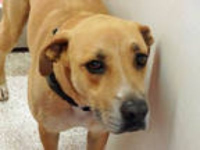 Adopt ALFRED* a Tan/Yellow/Fawn - with White Labrador Retriever / Mixed dog in