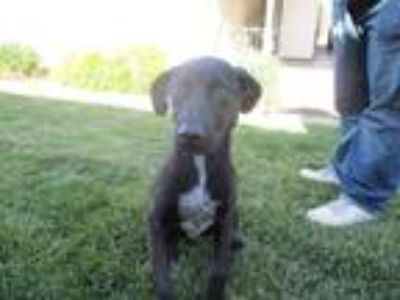 Adopt ANNABELL a Labrador Retriever / Mixed dog in Lindsay, CA (25649191)