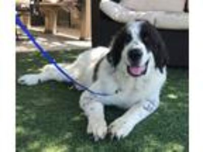 Adopt Simon a Black - with White Great Pyrenees / Mixed dog in Temecula