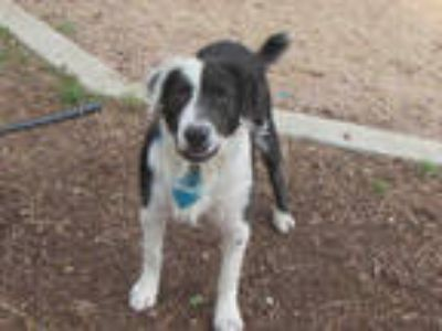 Adopt PIRATE a Gray/Silver/Salt & Pepper - with White Border Collie / American