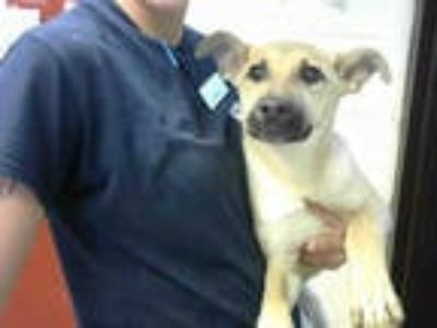 Adopt HALO a Tan/Yellow/Fawn - with White Labrador Retriever / German Shepherd