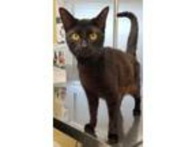 Adopt Aimee a Domestic Short Hair