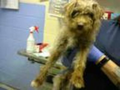 Adopt COPPER a Yorkshire Terrier, Mixed Breed