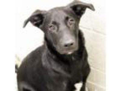 Adopt June Bug a Labrador Retriever, Mixed Breed
