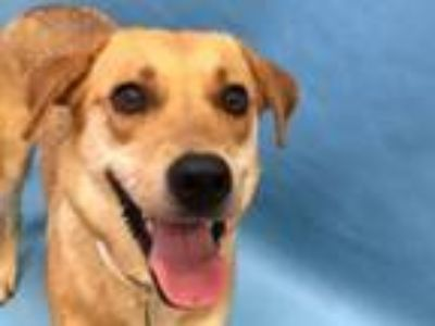 Adopt Marley a Carolina Dog, Labrador Retriever