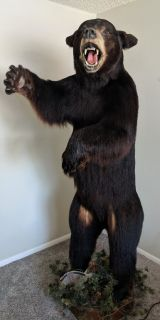 Idaho Black Bear