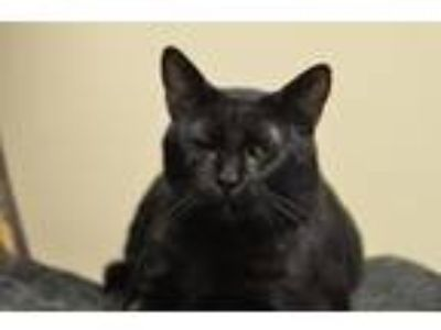 Adopt Thompson 171988 a Domestic Short Hair