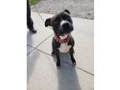 Adopt Leo a Boxer, Pit Bull Terrier