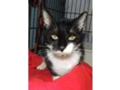 Adopt Oreo a All Black Domestic Shorthair / Domestic Shorthair / Mixed cat in