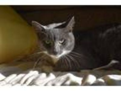Adopt Felix a Gray or Blue (Mostly) Domestic Shorthair (short coat) cat in Pine