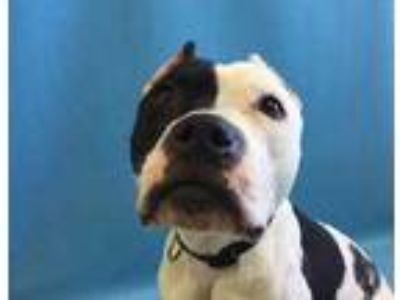 Adopt Rhumba a Black American Pit Bull Terrier / Mixed dog in St.