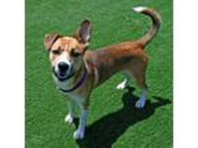 Adopt Charlie a Australian Cattle Dog / German Shepherd Dog / Mixed dog in