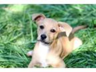 Adopt PUPPY SPRING a Tan/Yellow/Fawn Labrador Retriever / Hound (Unknown Type) /
