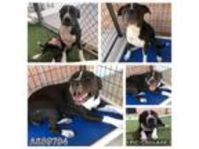 Adopt QUEEN a Black - with White American Staffordshire Terrier / Mixed dog in