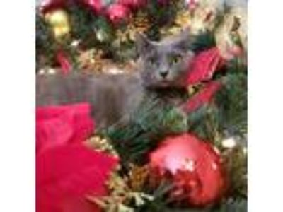 Adopt Ann Perkins a Gray or Blue Russian Blue cat in Fairfax, VA (25922157)