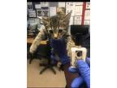 Adopt Adger a Tan or Fawn Domestic Shorthair / Domestic Shorthair / Mixed cat in