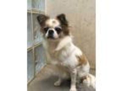 Adopt Alice a White Tibetan Spaniel / Mixed dog in Lihue, HI (25878621)