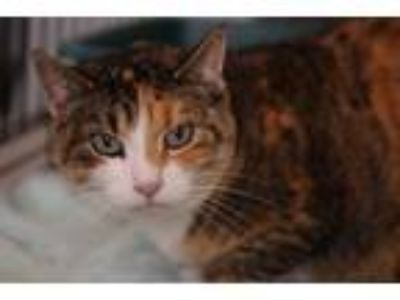 Adopt Popo a Tan or Fawn (Mostly) Domestic Shorthair (short coat) cat in Reeds