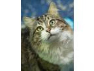 Adopt Marston a Domestic Long Hair