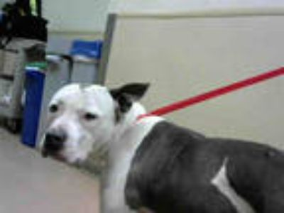 Adopt *CLEO a White - with Gray or Silver American Pit Bull Terrier / Mixed dog