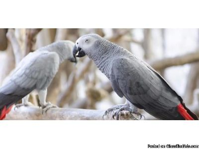 Beautiful African grew parrots (birds) ready