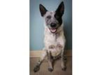 Adopt Jeep a Cattle Dog