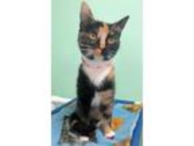 Adopt Eve a Domestic Short Hair, Calico