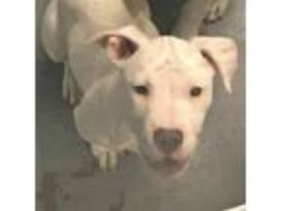 Adopt Louka Puppy a American Staffordshire Terrier
